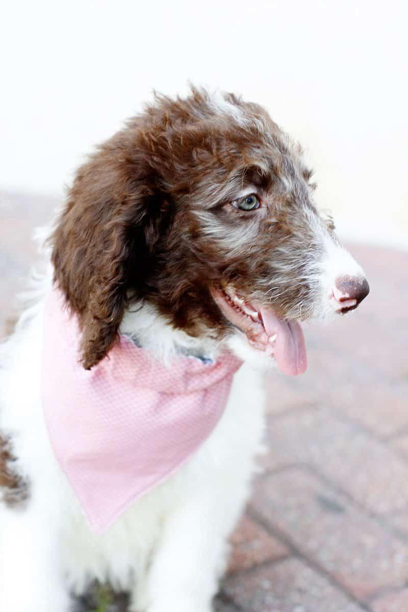 Small Dog Handkerchief | Dog Bandana Pattern