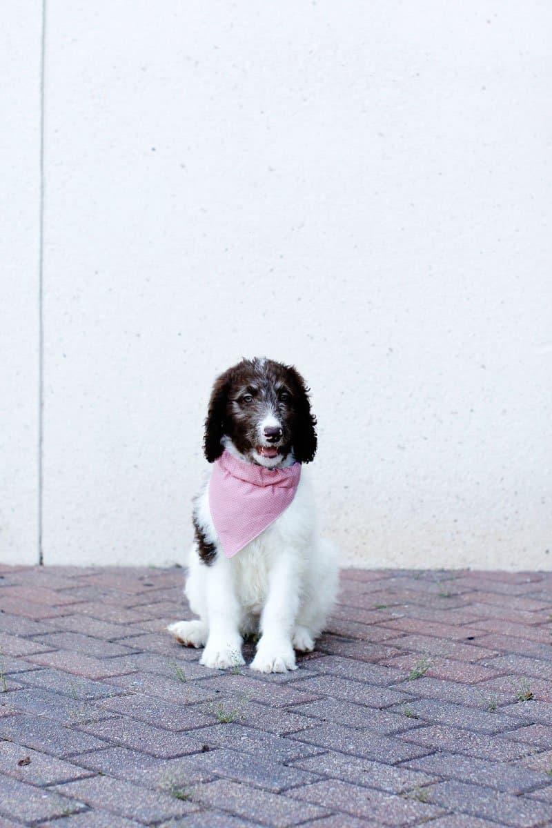 dog bandana pattern free